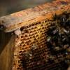 Pszczoły to serce ekosystemu. Sprawdź, dlaczego należy o nie dbać