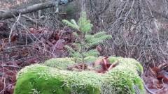 Las stroi się na święta