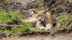 W lasach Nadleśnictwa Dobrzany (RDLP w Szczecinie) żyją, m.in. wilki, łosie, żubry i rysie