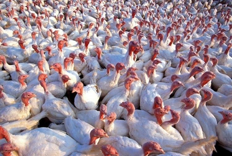 Działania Inspekcji Weterynaryjnej w ognisku wirusa grypy ptaków