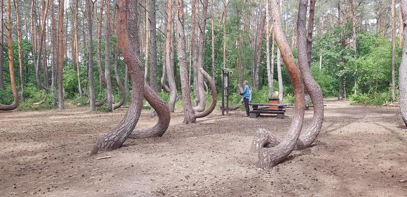 Krzywy las zyska nowe życie