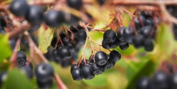 Tych dobroczynnych substancji aronia ma najwięcej spośród wszystkich owoców…