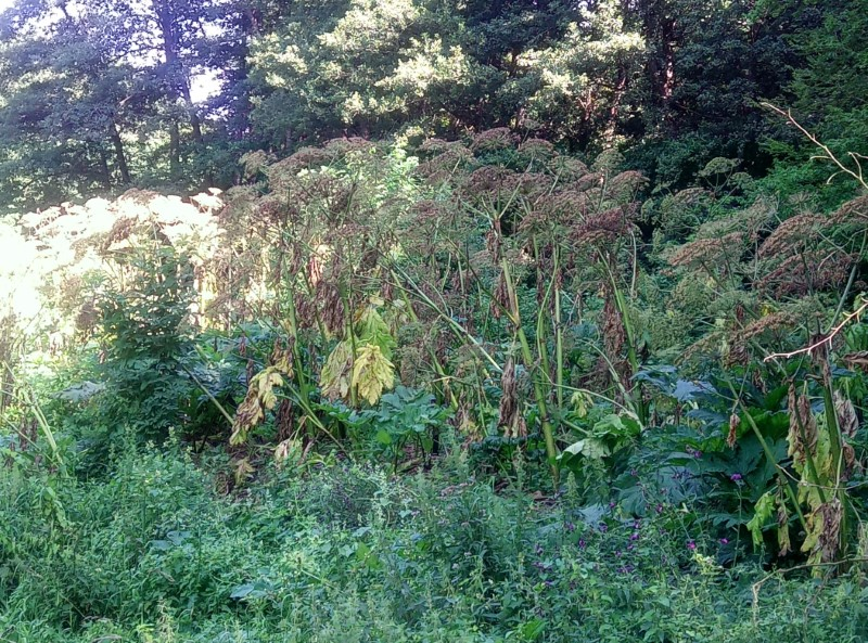 Zwalczanie niebezpiecznej rośliny w Nadleśnictwie Resko