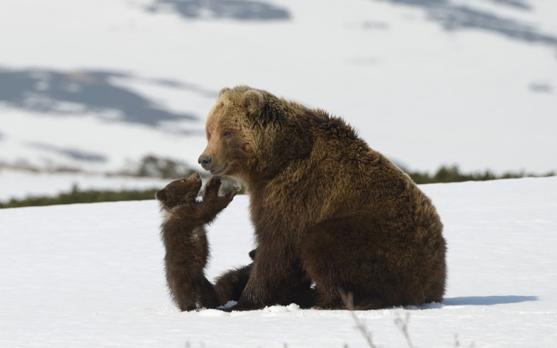 Photo 4 KAMCHATKA_BEARS_4